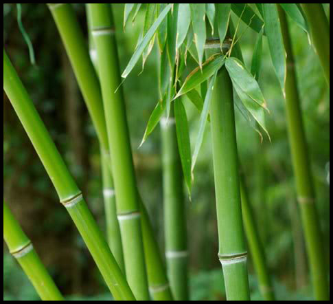 Bamboo is used for bed linens