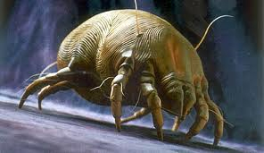 Enlaged image of a dust mite